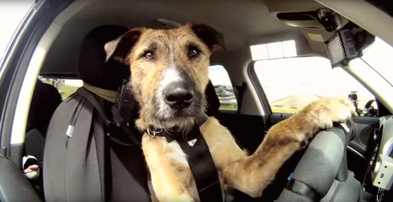 Meet The World's First Driving Dog