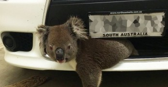 Koala Survives Being Hit At 60mph After Getting Stuck in Bumper